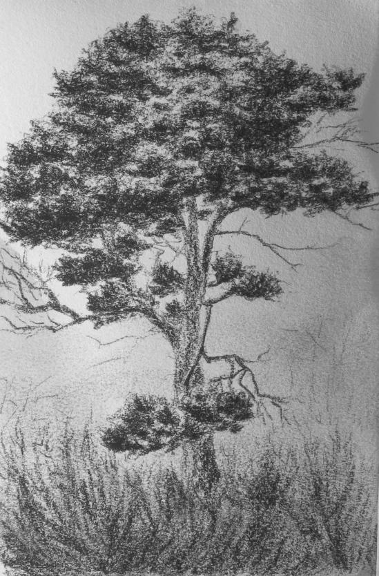 Back Shore Pine